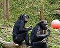 Bonobo 011.jpg
