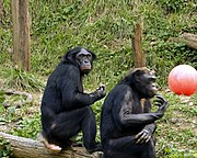 Pareja de Bonobos en el Zoo de Cincinnati, setiembre de 2005