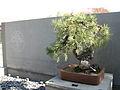Bonsai United States National Arboretum 1.JPG