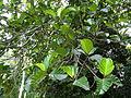 Botanical Garden of Peradeniya 64.JPG
