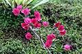 Bougainvillea spectabilis 6zz.jpg
