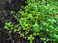 Bouillon waterminnende plant 1.jpg