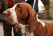 Bracco Italianos have a distinctive solemn facial expression