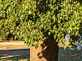 Brachychiton populneus Herbert St Boulia Central Western Queensland P1080648.jpg