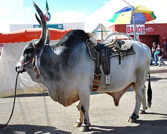 Ox - Brahman riding-ox at the Feria de Hidalgo in Pachuca, Hidalgo