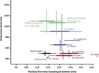 Human evolution - Brain size and tooth size in hominins