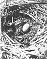 Brandt cormorant nest and young, Carroll Island, June 1907 (WASTATE 1386).jpeg