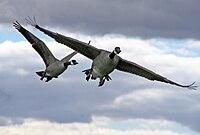 200px-Branta_canadensis_in_flight%2C_Great_Meadows_National_Wildlife_Refuge.jpg