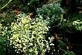 Brassica-oleraceae-italica-flowering.JPG
