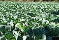 Brassica field.JPG