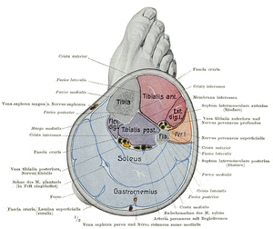 Calf (leg) - Cross-section of lower right leg, through the calf, showing its 4 compartments: anterior at upper right; lateral at center right; deep posterior at center; superficial posterior at the bottom