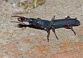 Brentidae (Symmorphocerus sp.) (13784821814).jpg
