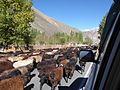 Bringing the herds home (5) (31773704493).jpg