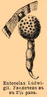 <i>Entocolax</i> genus of molluscs