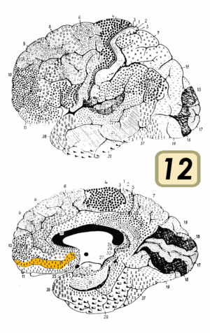 Brodmann area 12 - Brodmann area 12(shown in orange)