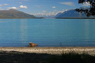 Naknek Lake - A grizzly bear in Naknek Lake