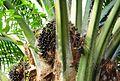 Buah kelapa sawit (7).JPG