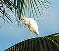 Bubulcus ibis (Héron Garde - boeufs).jpg