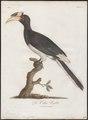 Buceros violaceus - 1801 - Print - Iconographia Zoologica - Special Collections University of Amsterdam - UBA01 IZ19300181.tif