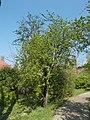 Budai Arborétum. Felső kert. Kárminpiros virágú cseregalagonya (crataegus x media Paul's Scarlet Rosaceae). Budapest.JPG