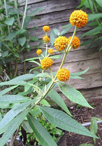 Buddleja araucana - Image: Buddleja araucana flower