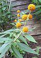 Buddleja araucana flower.jpg