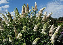 Buddleja davidii 'White Profusion' crown.jpg