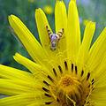 Bug on yellow (2570492675).jpg
