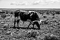 Bull in the pasture near Santa Fe.jpg
