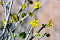 Bulnesia chilensis (8685917449).jpg