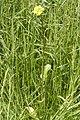 Bunias.orientalis2.-.lindsey.jpg