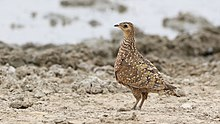 Burchell's sandgrouse, Pterocles burchelli, at Kgalagadi Transfrontier Park, Northern Cape, South Africa (35283376452).jpg