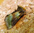 Burnished Brass. Diachrysia chrysitis - Flickr - gailhampshire (4).jpg