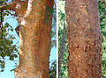 Bursera simaruba, bark of the Gumbolimbo or Copperwood Tree (11378600704).jpg