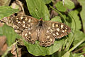 Butterfly Speckled Wood - Pararge aegeria 08.jpg