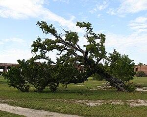 Conocarpus - Bottonwood tree at Fort Jefferson in the Dry Tortugas