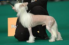 Chinese Crested Dog Wikipedia