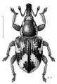 COLE Curculionidae Baeosomus iridescens winged.png
