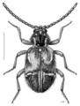 COLE Ptinidae Ptinus speciosus.png