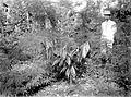 COLLECTIE TROPENMUSEUM Een-jarige cacaoplanten met lamtoro als grondbedekker en hulpschaduw op onderneming Assinan Midden-Java TMnr 10012225.jpg