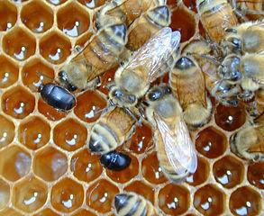 Aethina tumida dans la ruche