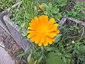 Calendula officinalis Prà 01.jpg