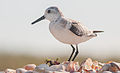 Calidris alba on Margarita island 6.jpg
