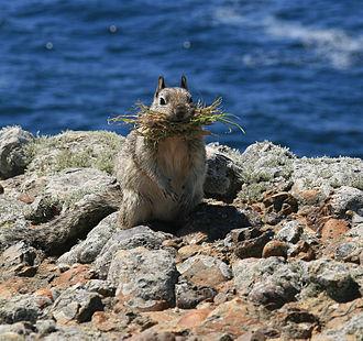 California ground squirrel - California ground squirrel at Point Lobos