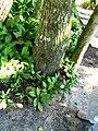 Calophyllum brasiliense IMG 2014.jpg