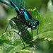 Calopteryx splendens qtl4.jpg
