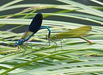 Calopteryx xanthostoma couple1.jpg