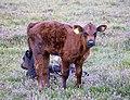 Calves (26258262978).jpg