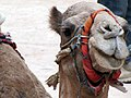 Camel in Petra, Jordan (4053069189).jpg