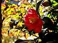 Camellia japonica natural.jpg